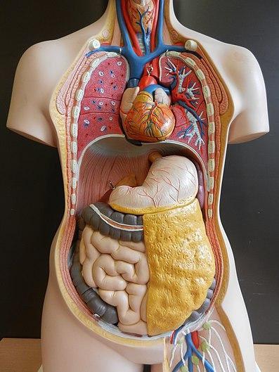 Organe-brust-bauch-br03.jpg