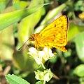 Oriens goloides - Smaller Dartlet 05.JPG