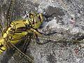 Orthetrum cancellatum (Black-tailed Skimmer) female, Nijmegen, the Netherlands - 3.jpg