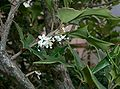 Osmanthus heterophyllus3.jpg