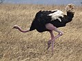 Ostrich Struthio camelus Tanzania 3740 cropped Nevit.jpg