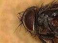 Oswaldia muscaria (41392828242).jpg