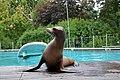 Otarie de Californie (Zoo Amiens)b.JPG