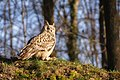 Owl In The Grass (137858339).jpeg