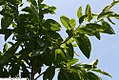 Oxydendrum arboreum 11zz.jpg