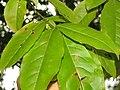 Oxydendrum arboreum 1zz.jpg