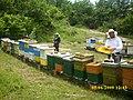 Pčele na lipi - panoramio (2).jpg