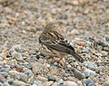 PIPIT, RED-THROATED (9-9-08) Gambell, Ak -2 (2844651910).jpg