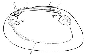 PSM V07 D590 Right valve of a fresh water mussel.jpg