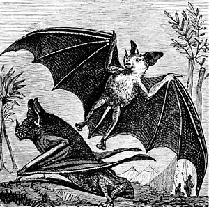 "Vampire bat of South America"" title="