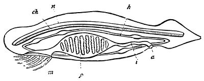 PSM V19 D663 Diagram of the lancelet.jpg