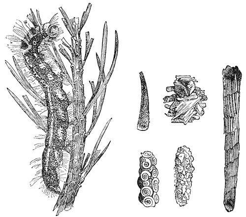 PSM V39 D238 Larva legs and cases of phrygaindes.jpg