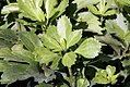 Pachysandra terminalis Green Carpet 0zz.jpg