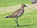 Pacific Golden Plover hawaii RWD.jpg