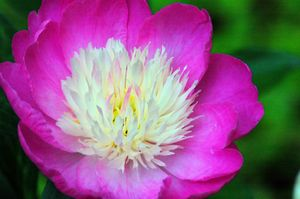 Paeonia lactiflora 'Gay Paree'