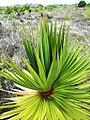 Pandanus heterocarpus at Anse Quitor Nature Reserve 2.jpg