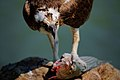Pandion haliaetus -San Francisco Bay, California, USA-eating fish-8.jpg