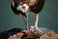 Pandion haliaetus -San Francisco Bay, California, USA-eating fish-8.jpg
