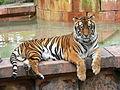 Panthera tigris5.jpg