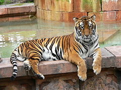 Panthera tigris tigris. Em Disney's Animal Kingdom Park.