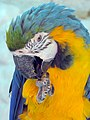 Papageien طوطی 10.jpg