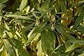 Paper Bush Edgworthia chrysantha Plant 3008px.jpg