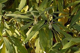 Edgeworthia chrysantha - Image: Paper Bush Edgworthia chrysantha Plant 3008px