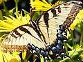 Papilio glaucus-female dorsal.jpg