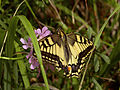 Papilio machaon - gefunden im Naturpark Ötscher-Tormäuer.jpg