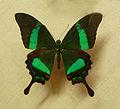 Papilio palinurus-Musée zoologique de Strasbourg.jpg