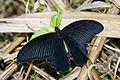 Papilio protenor protenor back 20140830.jpg