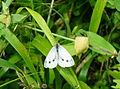 Papillon 03074 les Trous de Leu.JPG
