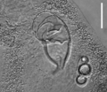 Parasite140121-fig3 Pseudorhabdosynochus jeanloui (Monogenea, Diplectanidae) Fig3a Sclerotized reproductive organs.png
