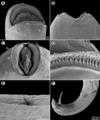 Parasite180099-fig5 Cucullanus gymnothoracis (Nematoda, Cucullanidae).png