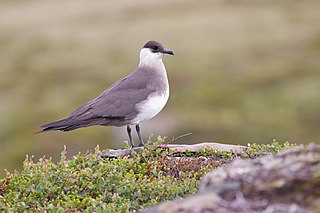 Parasitic jaeger species of skua