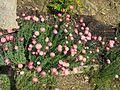 Parc Gonzalez - Rhodanthe chlorocephala.jpg