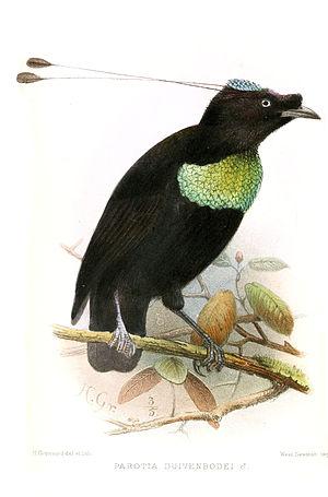 Duivenbode's six-wired bird of paradise - Image: Parotia Duivenbodei Gronvold