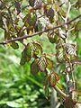 Parrotia persica (26607393912).jpg