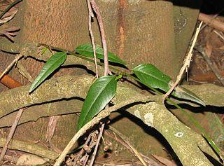 <i>Parsonsia brownii</i> species of plant