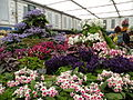 Part of the Dibleys Streptocarpus display at the Chelsea Flower Show in May 2011.JPG