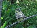 Parus caeruleus fledgling.jpg