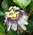 Passiflora edulis (Yellow grenadilla).jpg