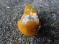 Passiflora foetida fruit (5731498658).jpg