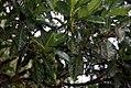 Passiflora quadrangularis 7zz.jpg