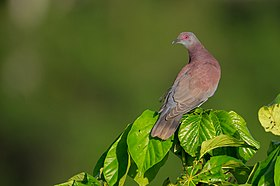 Patagioenas cayennensis, Pale-vented Pigeon.jpg