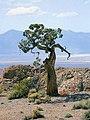Pediocactus simpsonii fh 36 50 NV location B.jpg