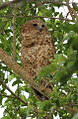 Pel's fishing owl, Scotopelia pel, at uMkhuze Game Reserve, kwaZulu-Natal, South Africa (15382813642).jpg