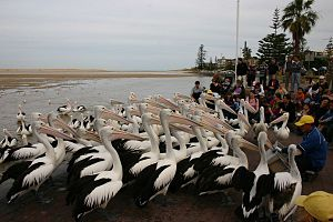 The Entrance, New South Wales - Pelican feeding at The Entrance