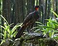 Penelope superciliaris - Rio Botanical Garden.jpg