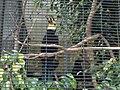Penelopides exarhatus, San Diego Zoo.jpg